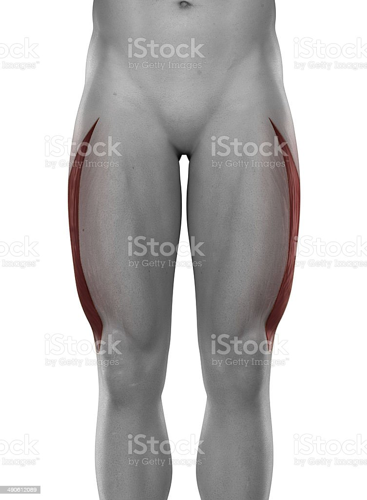 Vastus lateralis male muscles anatomy anterior view isolated stock photo