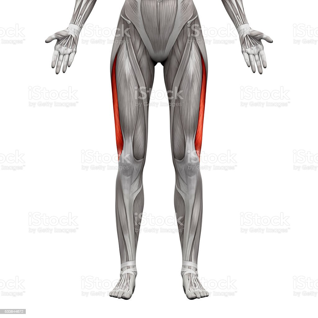 Vastus Lateralis Muscle - Anatomy Muscles isolated on white stock photo