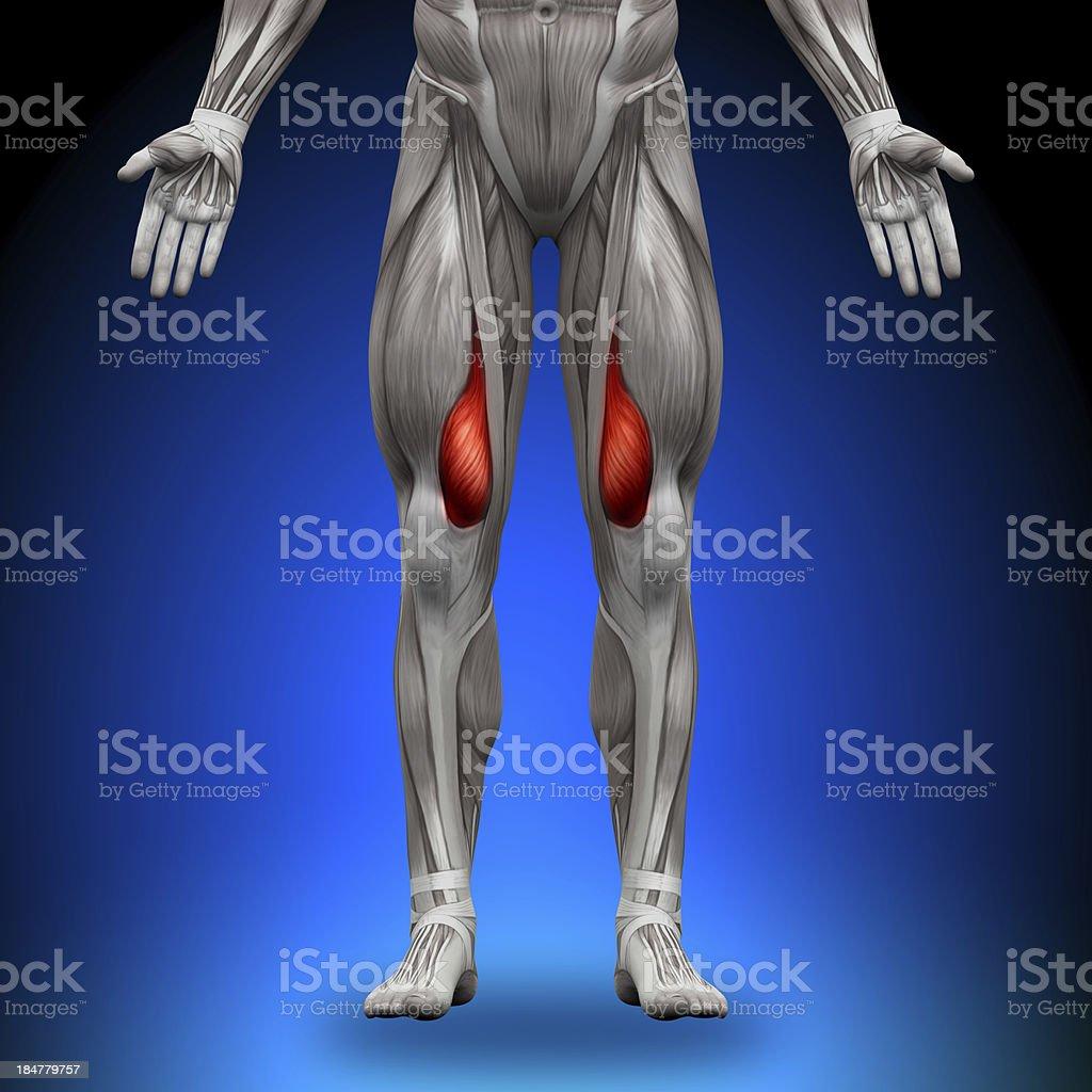 Vastus Medialis - Anatomy Muscles stock photo