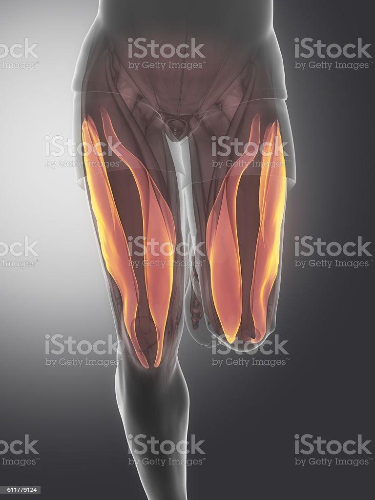 Vastus medialis and lateralis - human muscle anatomy stock photo