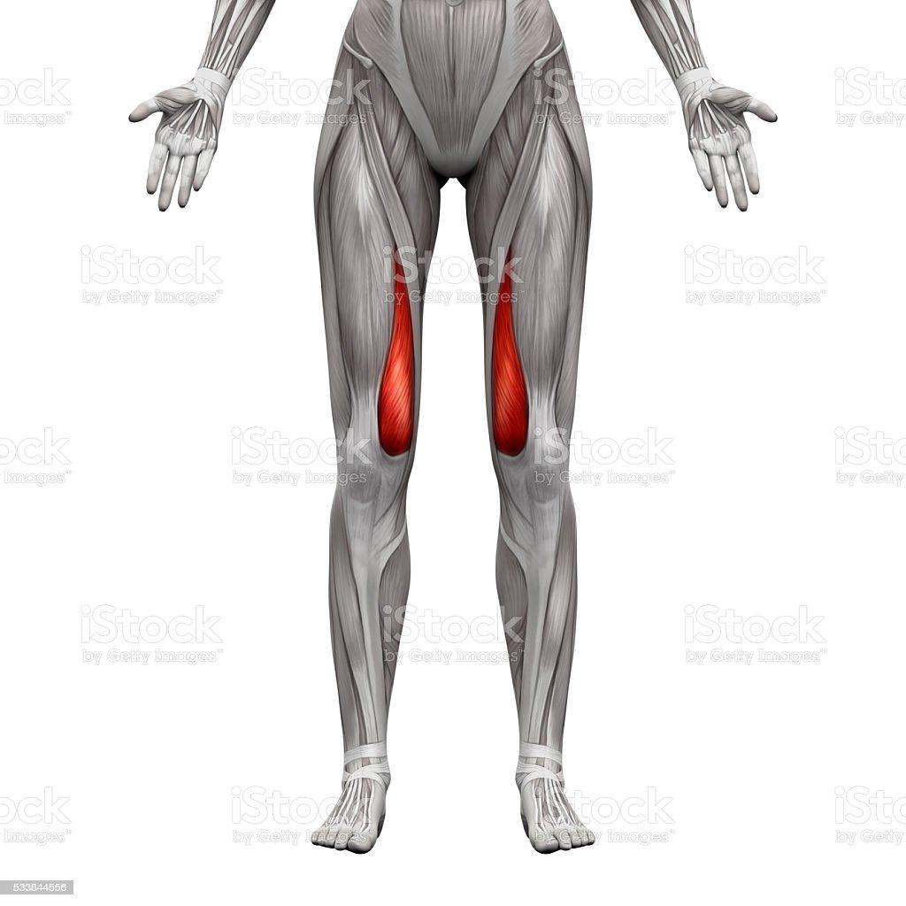 Vastus Medialis Muscle - Anatomy Muscles isolated on white stock photo