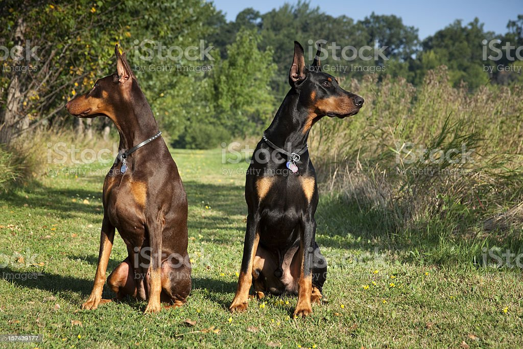 I've Got Your Back; Alert Doberman Pincher Guard Dogs stock photo