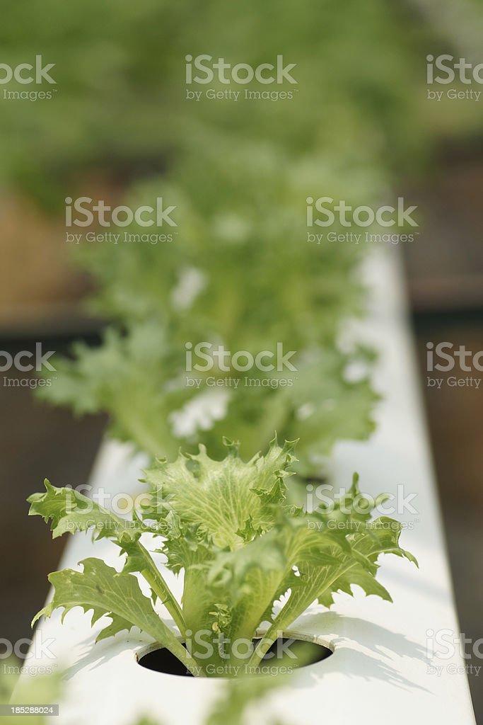 Vegetable at Hydroponics Farm (Mizuna Salad) royalty-free stock photo