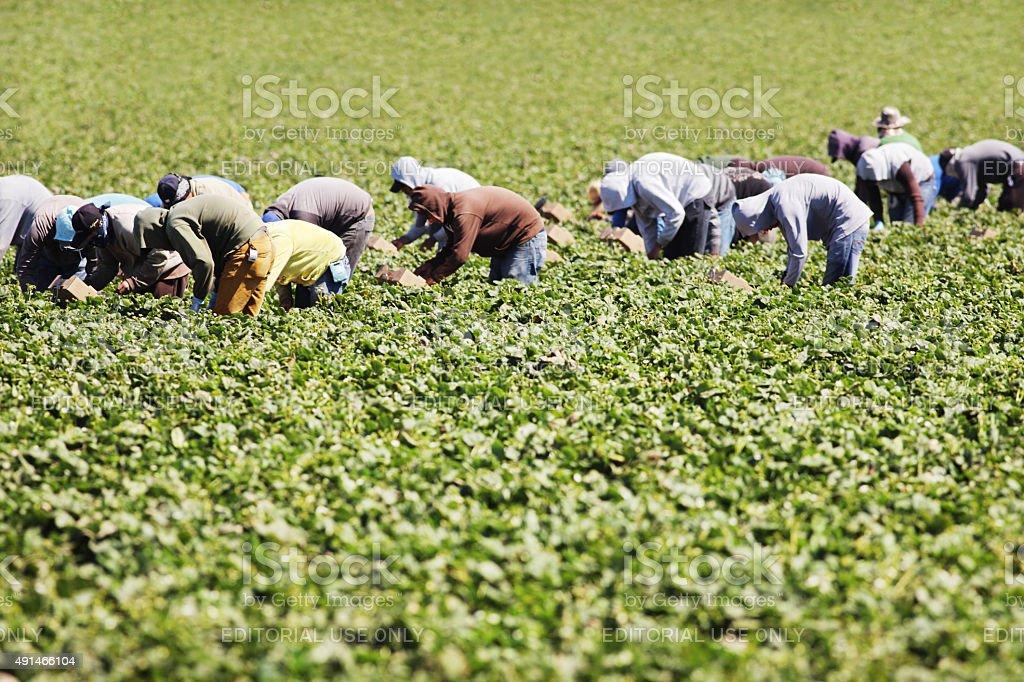 Vegetable Crop Harvest Farm Workers stock photo