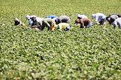 Vegetable Crop Harvest Farm Workers