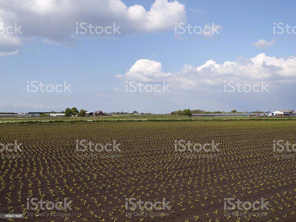 Vegetable crops growing in market gardening area of Lancashire stock photo