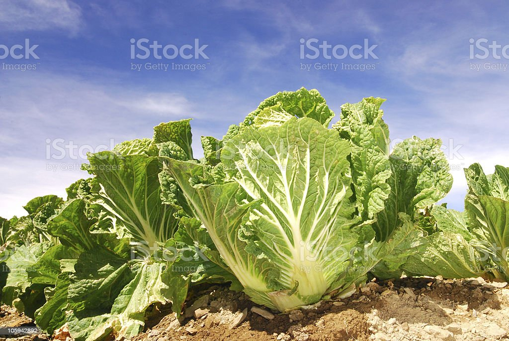 Vegetable field. royalty-free stock photo