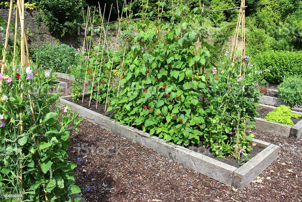 Vegetable garden allotment image with raised beds, runner bean flowers royalty-free stock photo