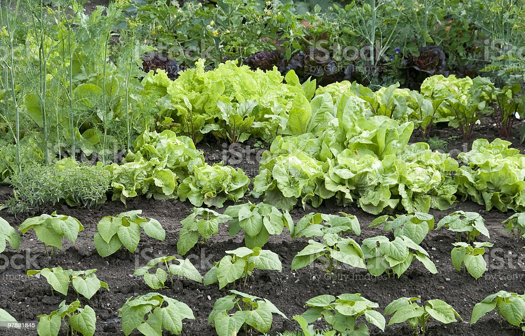 Vegetable garden bed with plants in orderly rows royalty-free stock photo