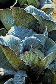 vegetable garden cabbage plants closeup image