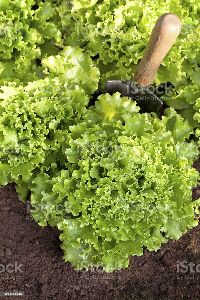 Vegetable garden. Green lettuce with trowel. royalty-free stock photo