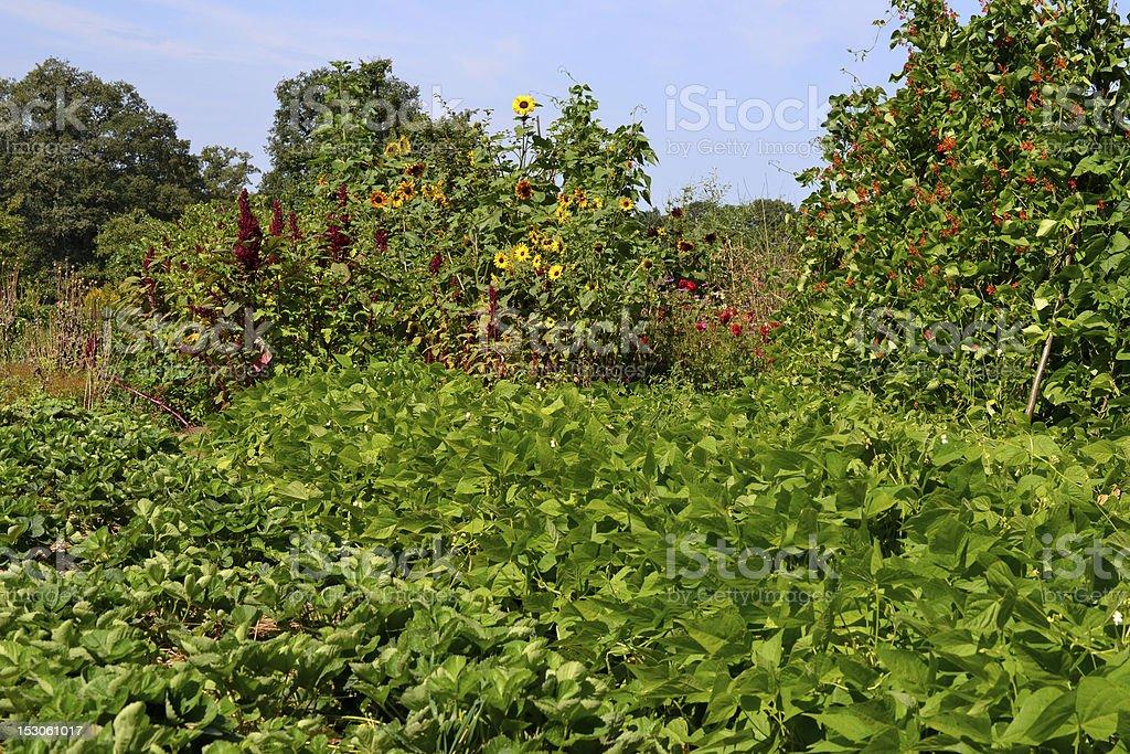 Vegetable garden in August. stock photo
