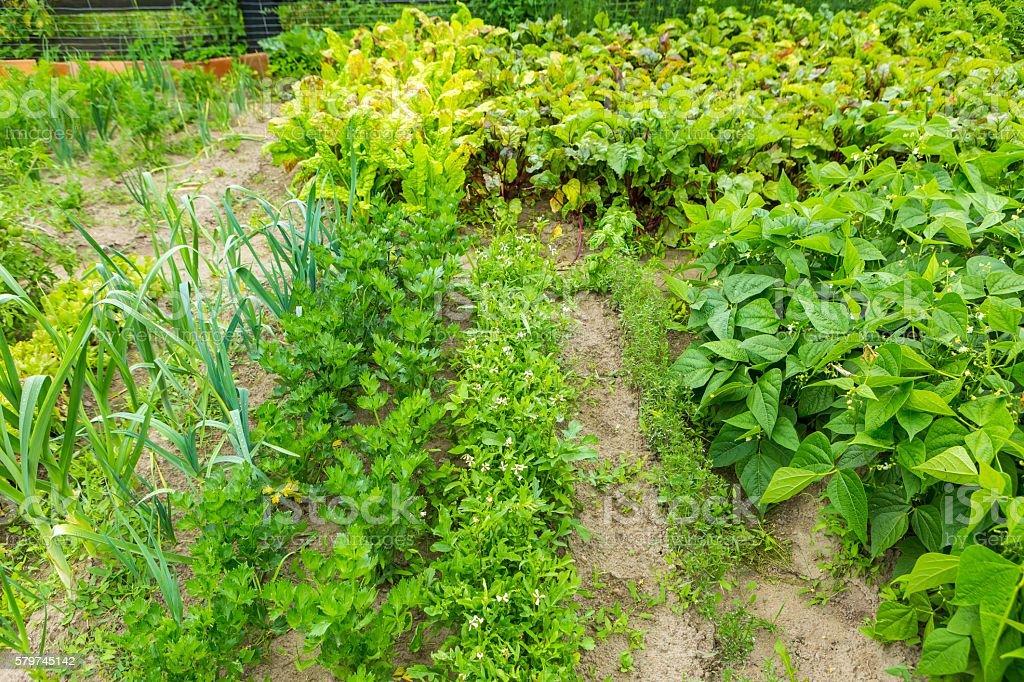 Vegetable garden in summer stock photo