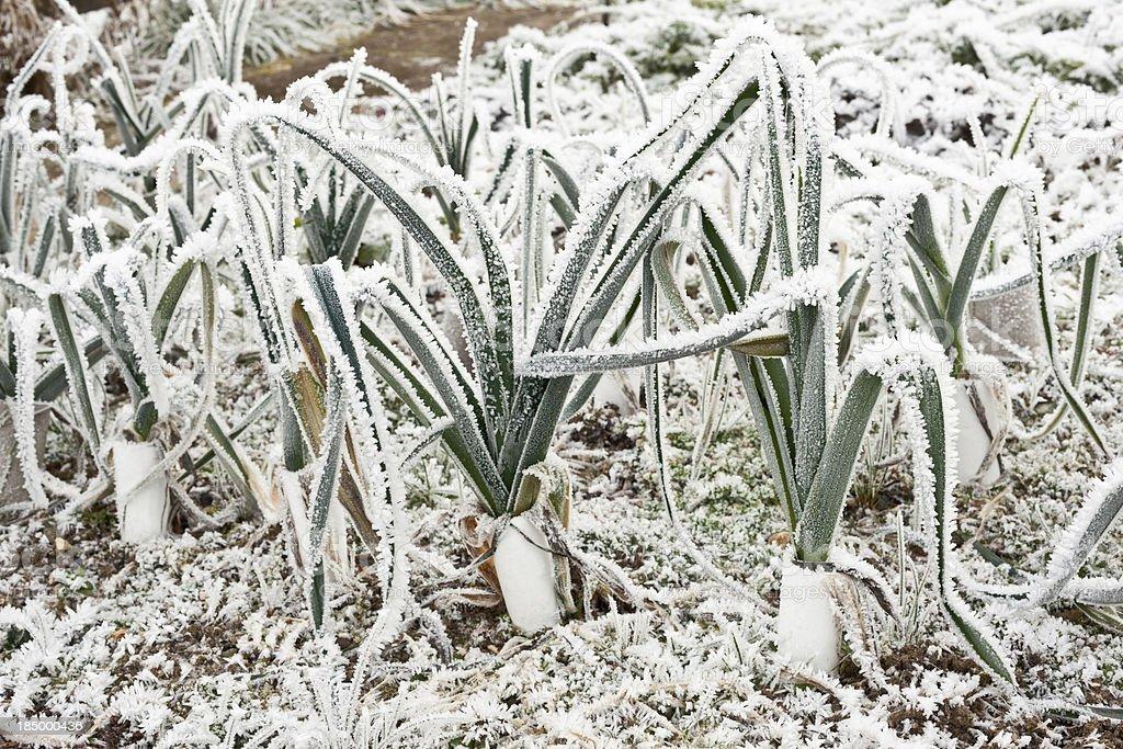 Vegetable garden in winter royalty-free stock photo