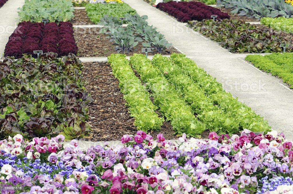 Vegetable Garden with Lettuce stock photo