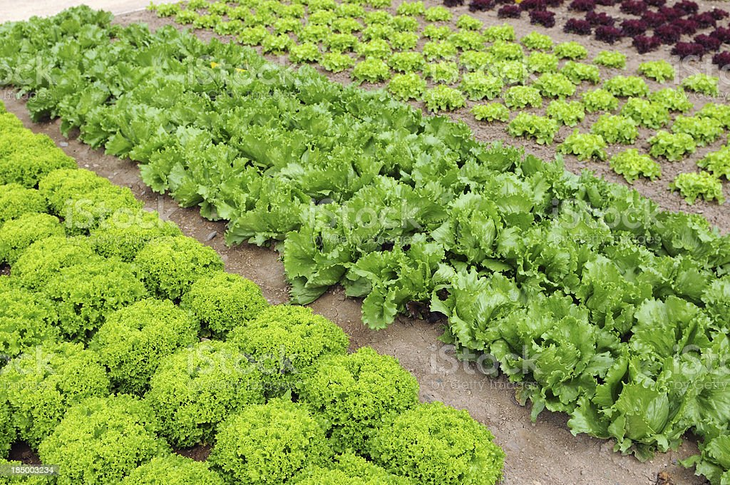 Vegetable Garden with Lettuce Salat royalty-free stock photo