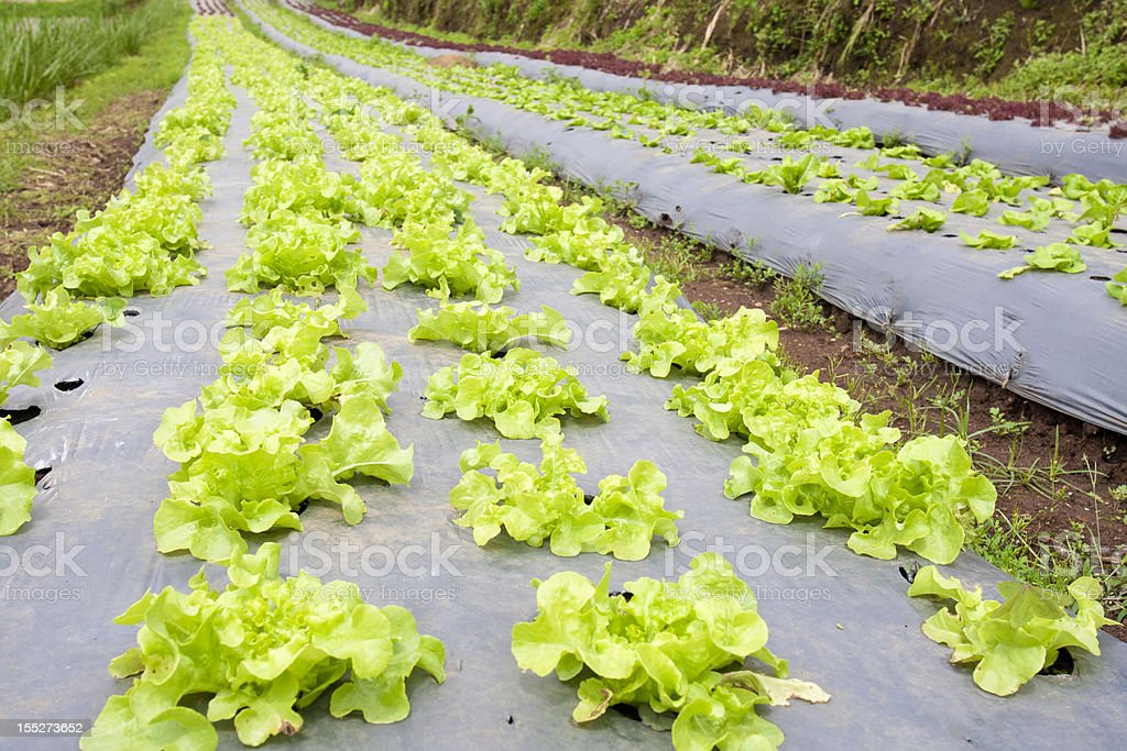 Vegetable garden with plastic film protected in land, royalty-free stock photo