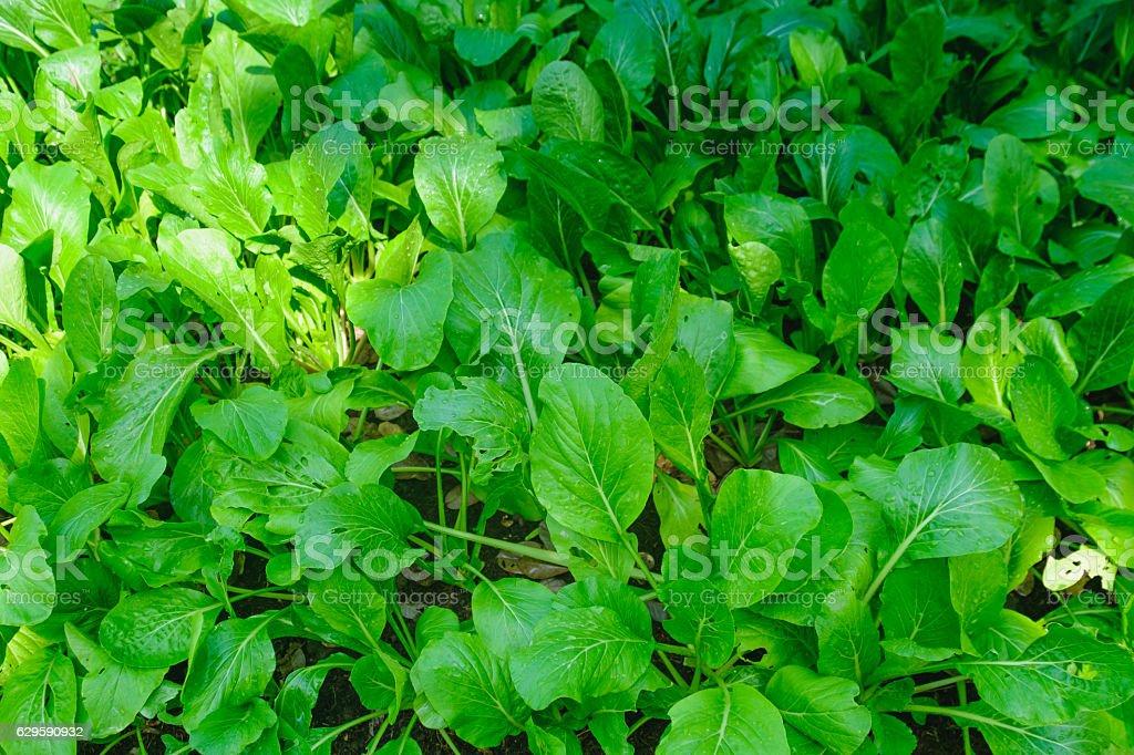 Vegetable growing in the garden stock photo