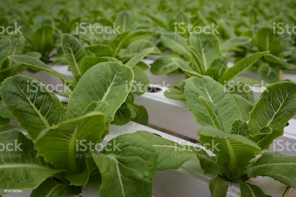 Vegetable in the Hydroponic farm stock photo