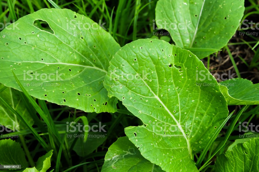 Vegetable leaves with plenty of holes made by worms stock photo
