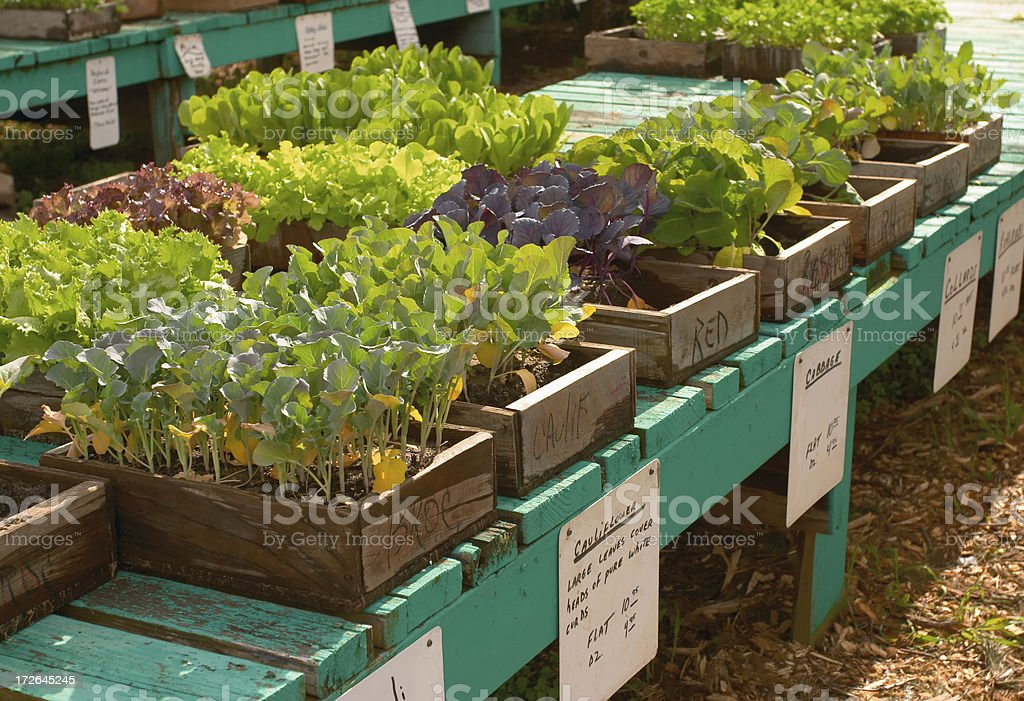 Vegetable plants in flats royalty-free stock photo