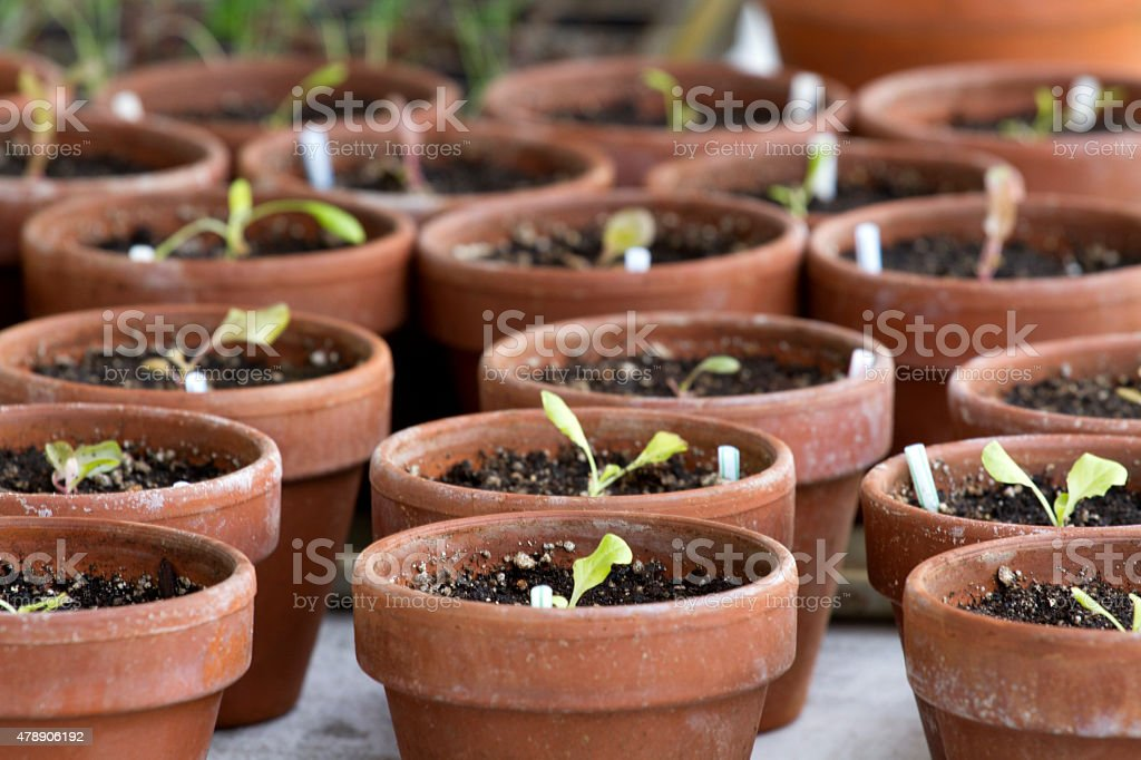 Vegetable Starts in Terracotta Pots stock photo