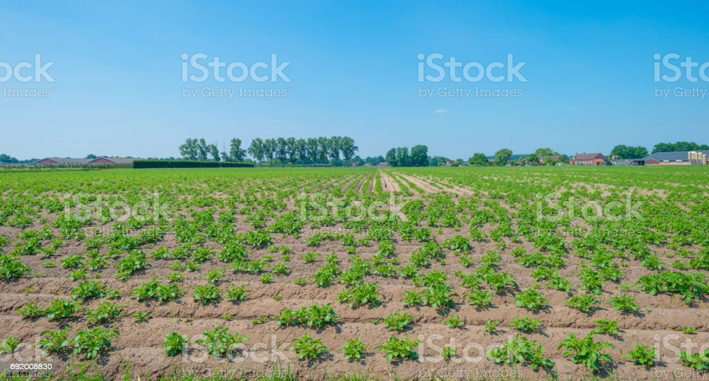 Vegetables growing in a field in spring stock photo