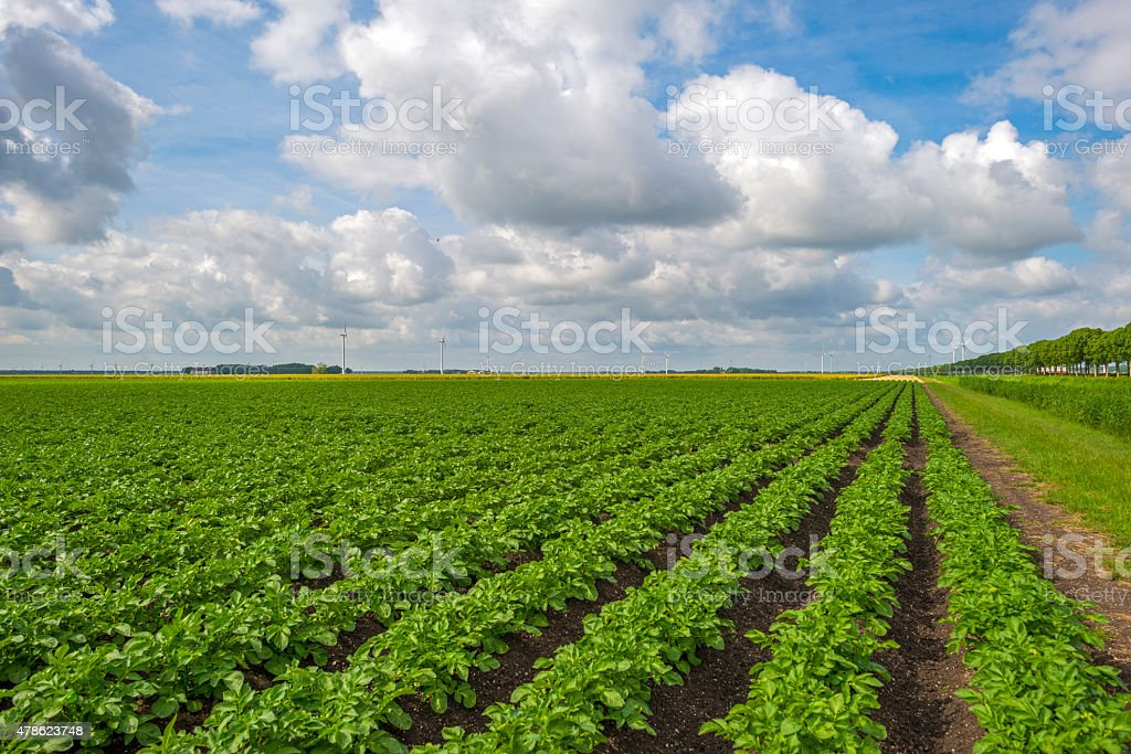 Vegetables growing under a cloudy sky in spring stock photo