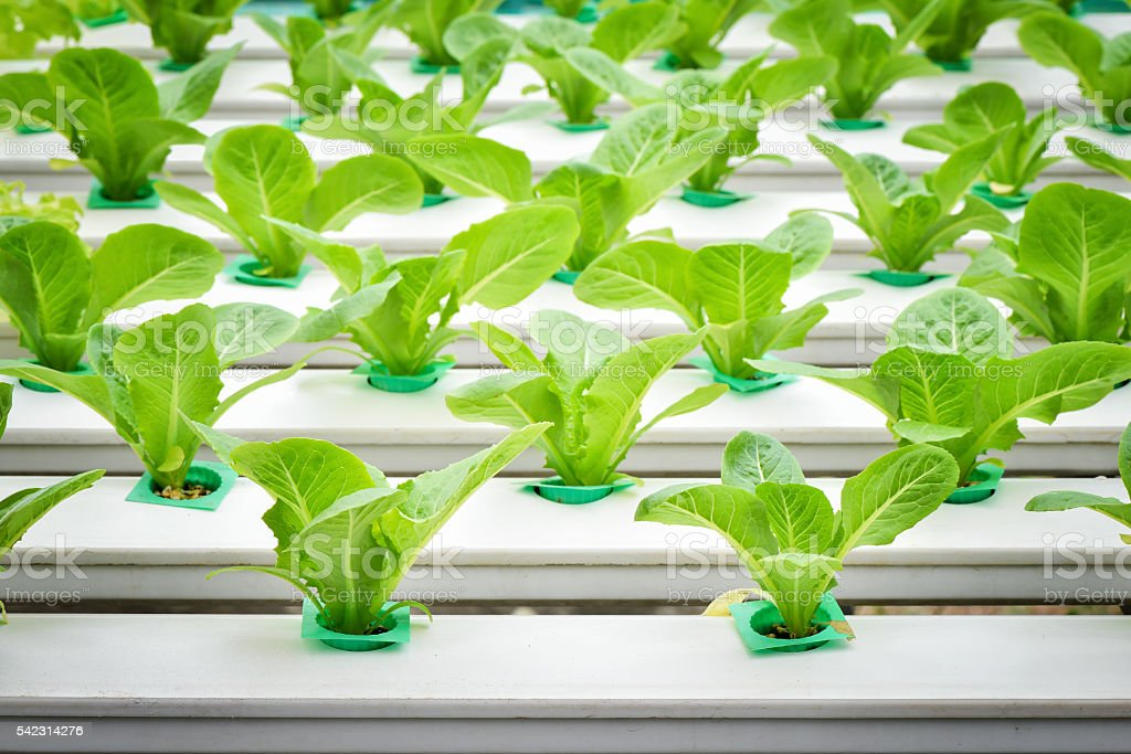 Vegetables hydroponic farm, Young lettuce on plastic shelf stock photo
