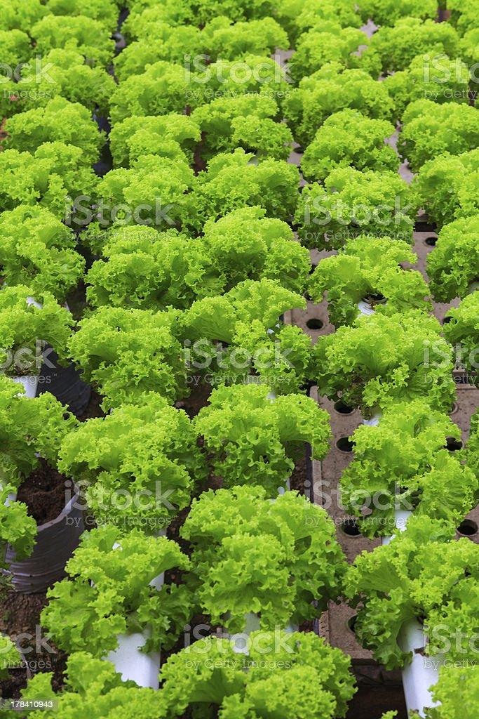 vegetables hydroponics farm royalty-free stock photo