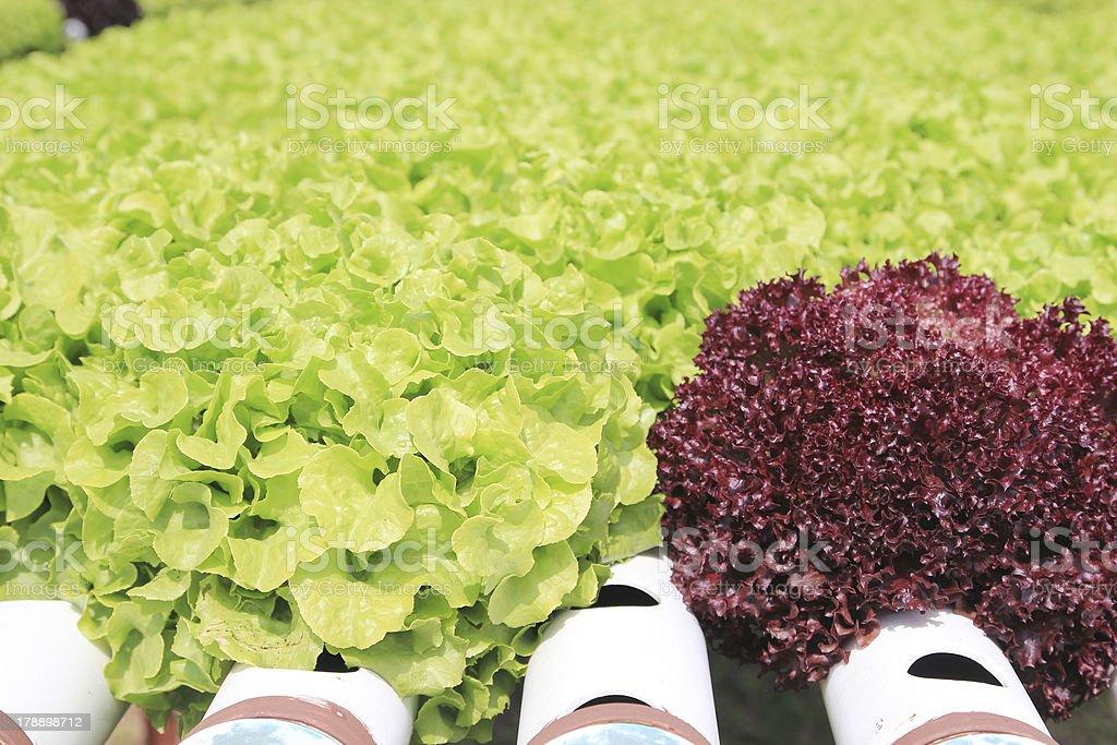 vegetables hydroponics royalty-free stock photo