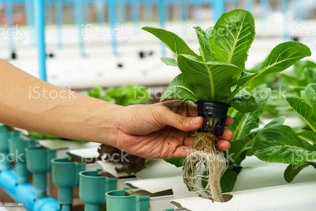 Vegetables hydroponics stock photo