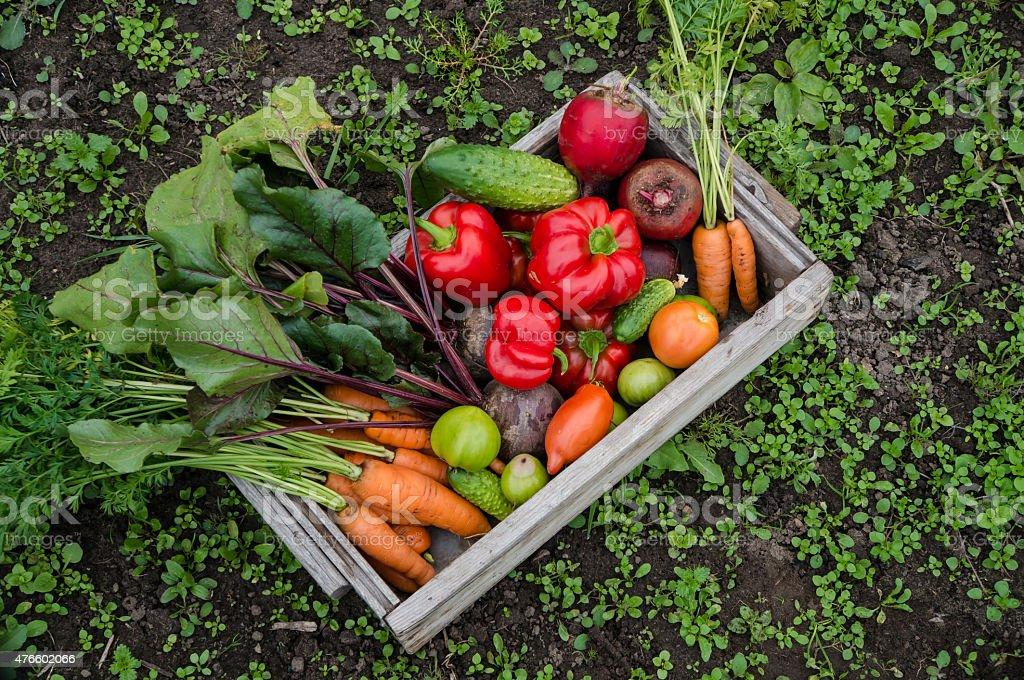 vegetables in the garden stock photo