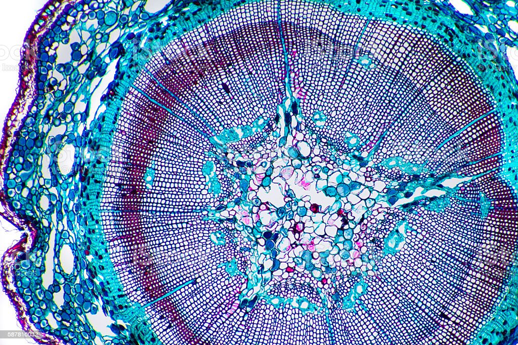 Vegetal tissue micrography - Corn stem stock photo