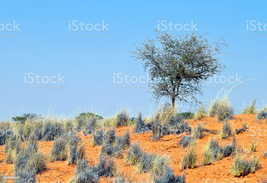 Vegetation growing  in the Kalahari Desert, Namibia stock photo