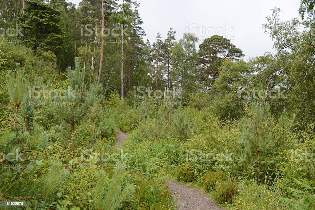 Vegetation lined path looking onto an elderly pine tree stock photo