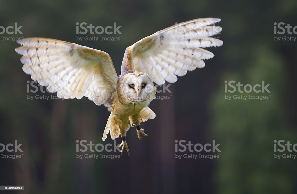 Veil owl in the flight stock photo