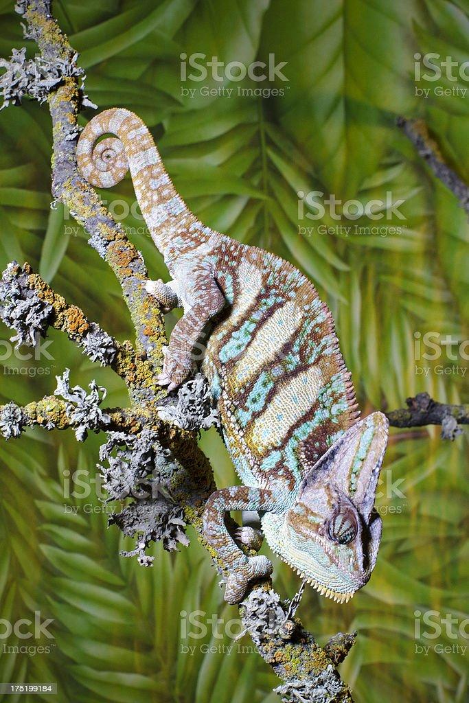 veiled chameleon  Chamaeleo calyptratus stock photo