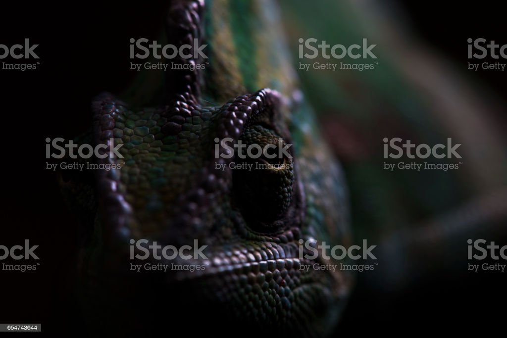 Veiled Chameleon in Darkness stock photo