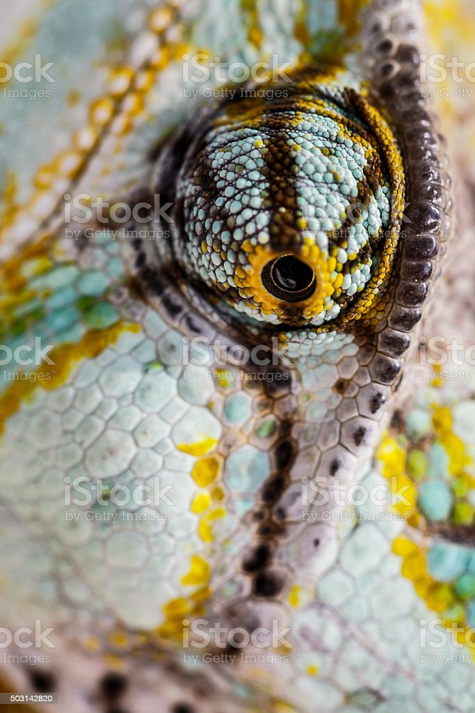 veiled chameleon is staring at the camera (Chamaeleo calyptratus) stock photo
