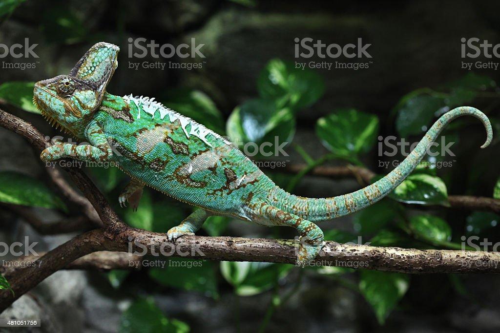 Veiled chameleon (Chamaeleo calyptratus). stock photo