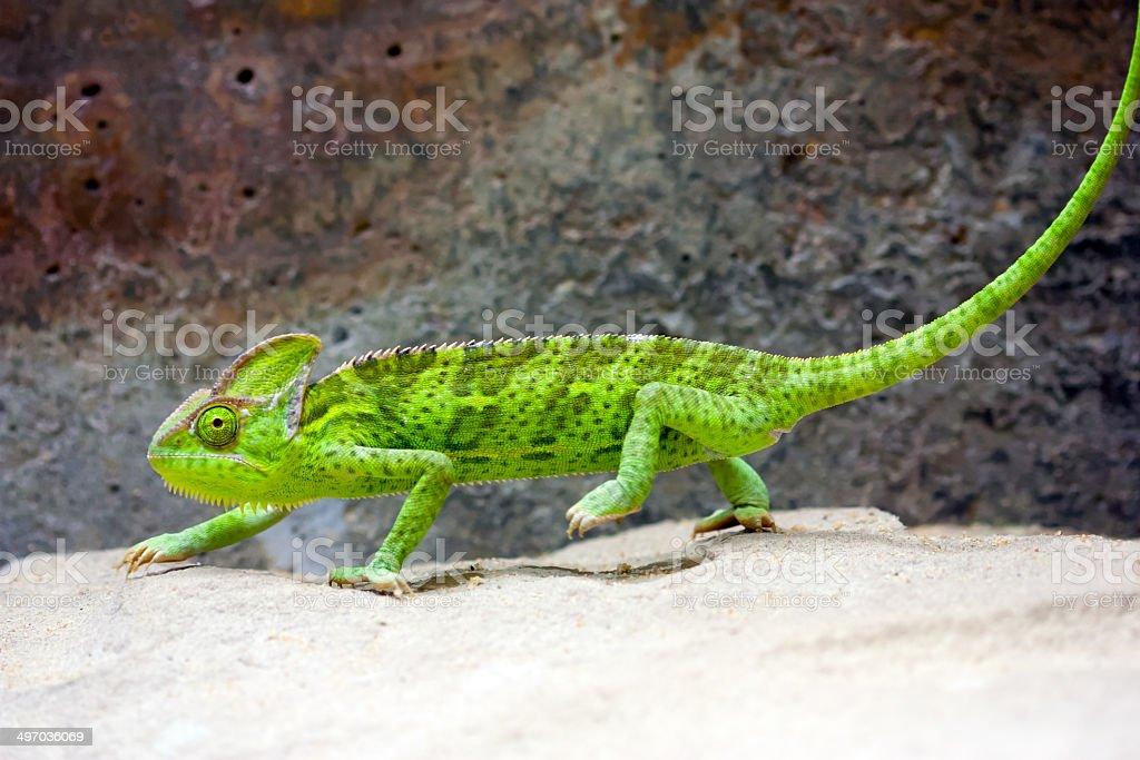 Veiled Chameleon (Chamaeleo calyptratus) stock photo