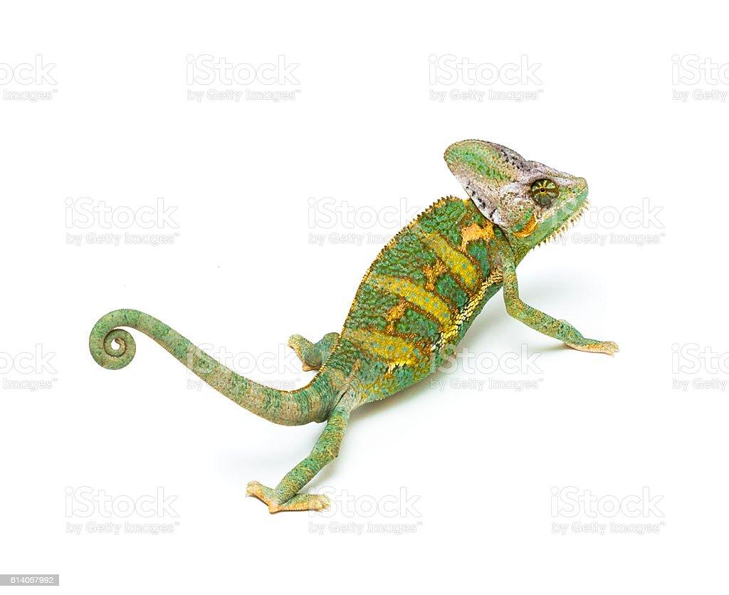 Veiled chameleon stock photo