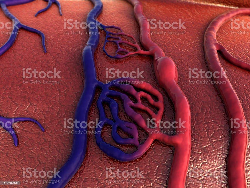 vein and artery stock photo