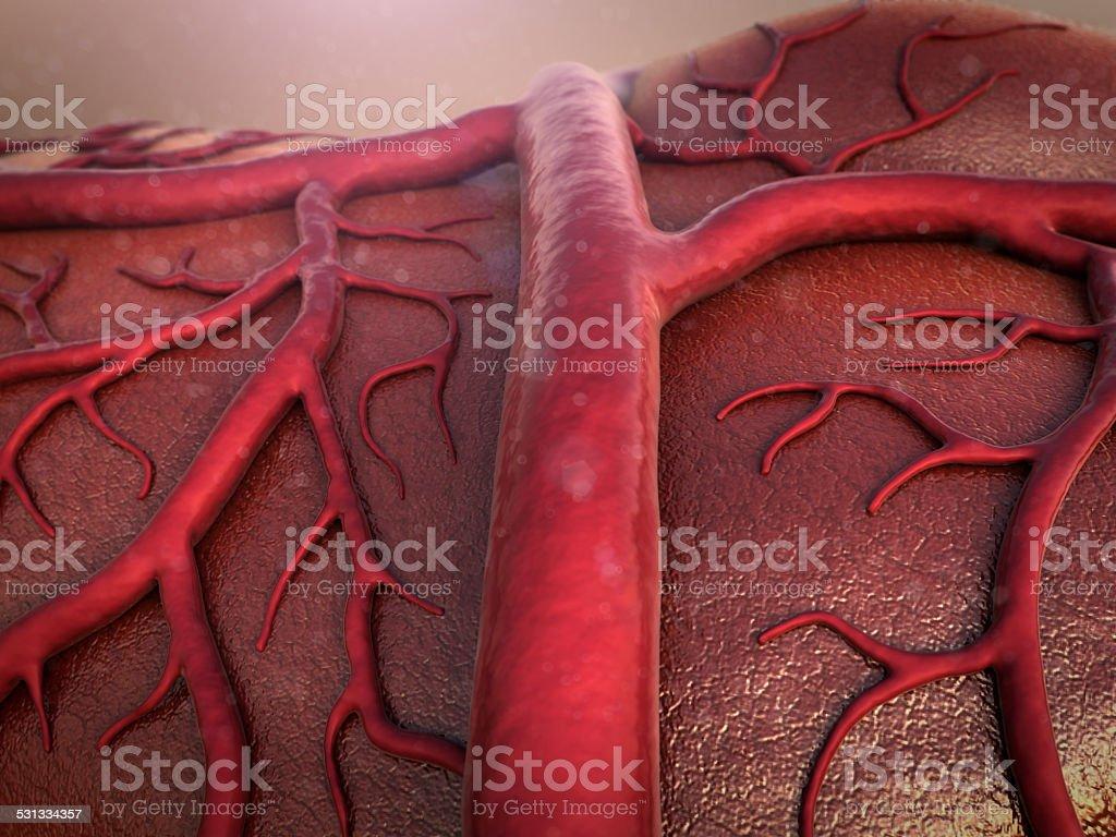 vein, human vein stock photo