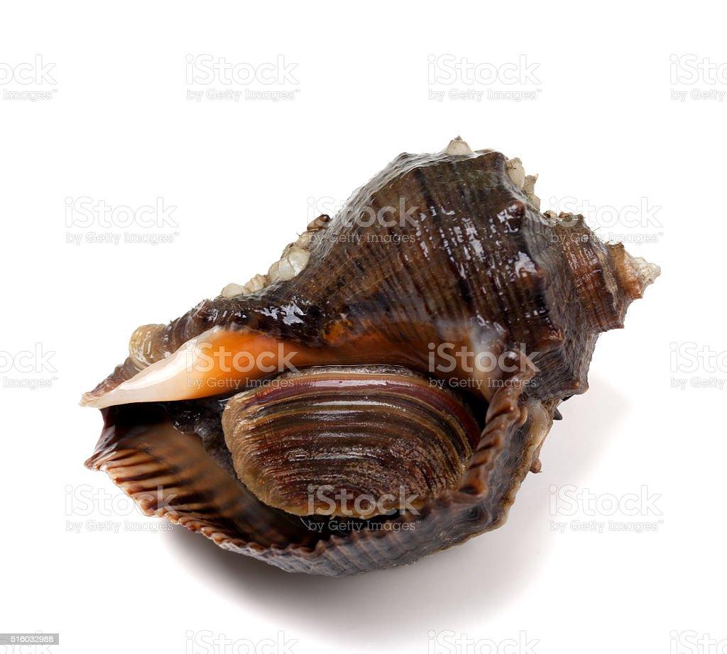 Veined rapa whelk stock photo