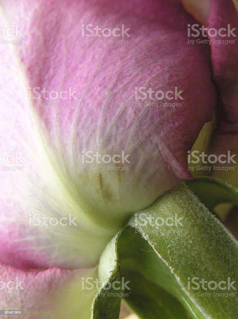 veins of a rose royalty-free stock photo