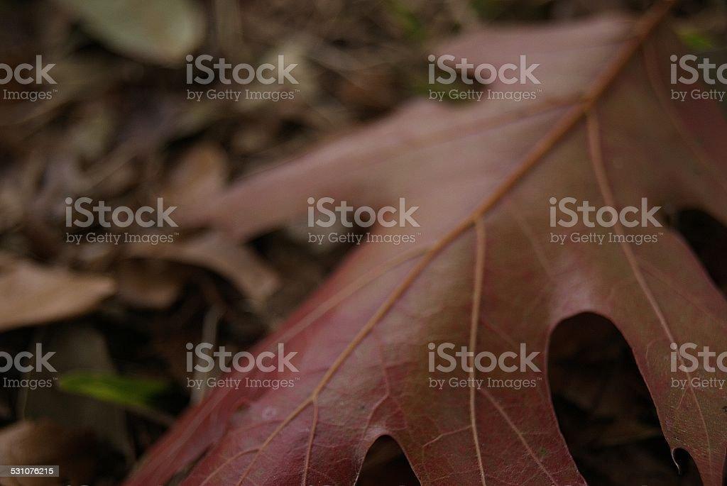 Veins of Oak royalty-free stock photo