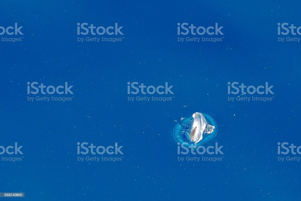 velella jellyfish on deep blue sea back stock photo
