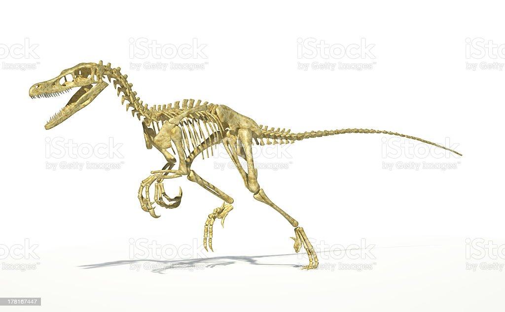 Velociraptor dinosaur, full skeleton scientifically correct, perspective view. royalty-free stock photo